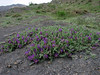 Astragalus spec. (Iran, Tehran, Elburz mountains, Fasham pass 2800m (1)