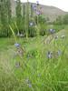 Anchusa italica (Iran, Azarbayjan-e-Gharbi, 20 km SW of Orumieh)(22)