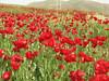 Glaucium corniculatum ssp. corniculatum, poppies (Iran, Azarbayjan-e-Gharbi, 22km SE of Shahin Dezh (30)