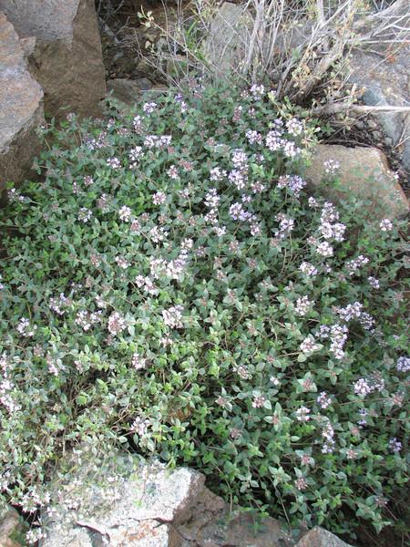 Thymus pubescens (Iran, Azarbayjan-e-Gharqi, mountains between Ahar and Meshgin Shahr (11)