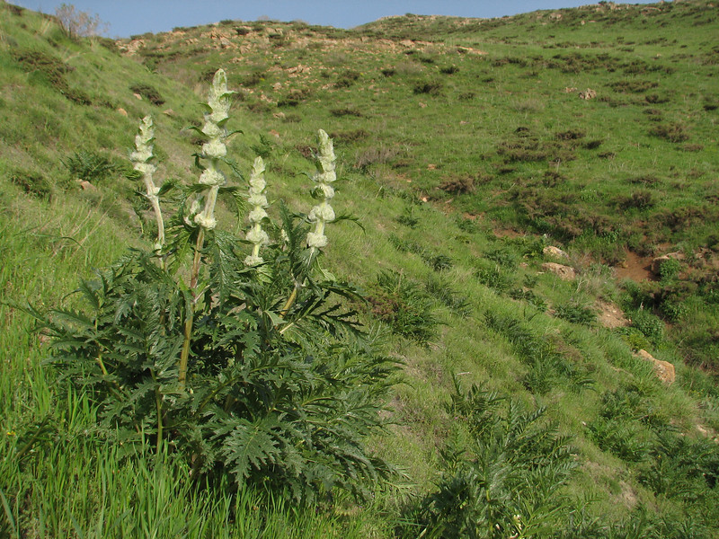 Eremostachys laciniata (Iran, Azarbayjan-e-Gharbi, pass 2300m Ziveh-Kaveh near border Turkey - Iraq)(23)