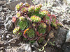 Rosularia cf. sempervivum (Iran, Azarbayjan-e-Gharqi, mountains NE of Kalibar 1900m (14)