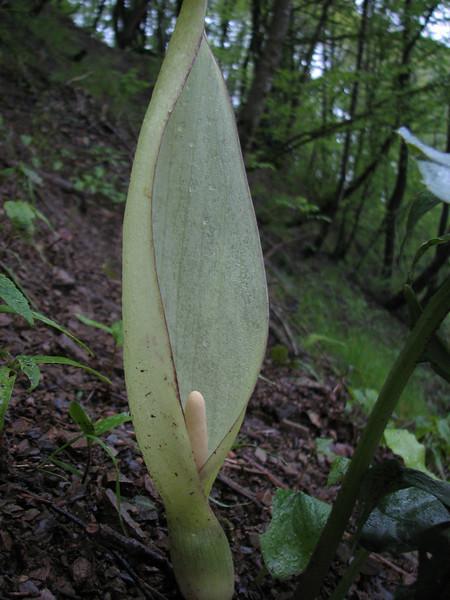 Arum albispathum (syn. A. italicum ssp. albispathum) (Iran, Gilan, Tales mountains, pass, SW of Asalem 2030-2380m (7)