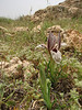 Iris acutiloba lineolata (Iran, Azarbayjan-e-Gharbi, 5km SW of Shahin Dezh 1700-1800m (29)
