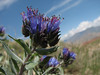 Moltkia longiflora (Iran, Azarbayjan-e-Gharqi, mountains 15 km S of Siyah Rud, 1400m (18)