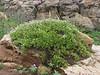 Astragalus spec. (Iran, Kurdistan, near Choplu 1700m (31)