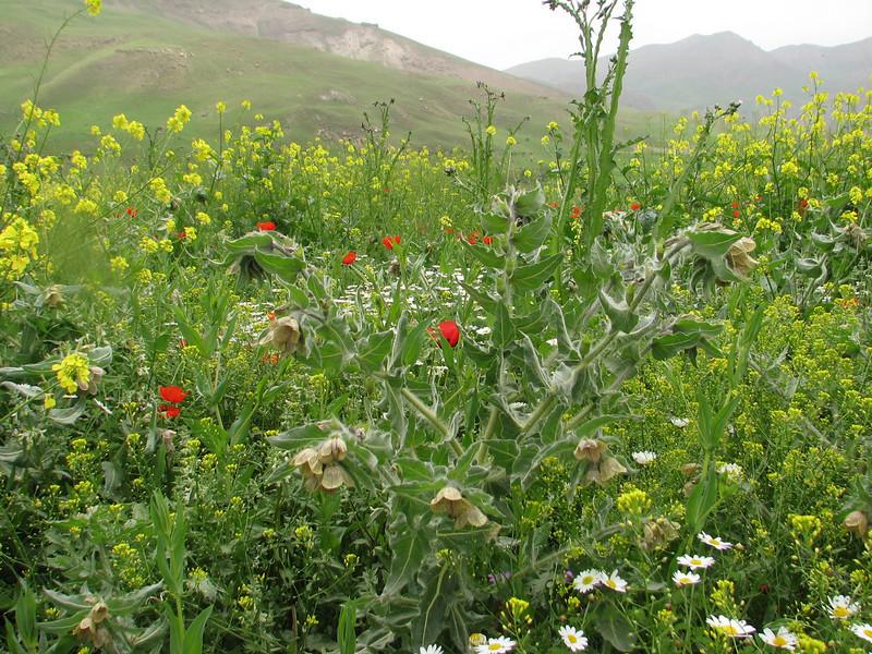 Hyoscyamus reticulatus (Iran, Azarbayjan-e-Gharbi, near Kani Bagh 2600m, 30 km NE of Piranshahr (26)
