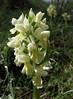 Dactylorhiza flavescens (Iran, Azarbayjan-e-Gharqi, mountains NE of Kalibar 1900m (14)