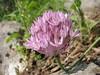 Allium rubellum