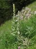 Verbascum gossypinum