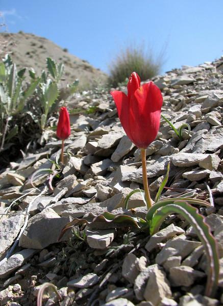 Species Tulip (Tulipa montana) in the Tulips Database (National ...