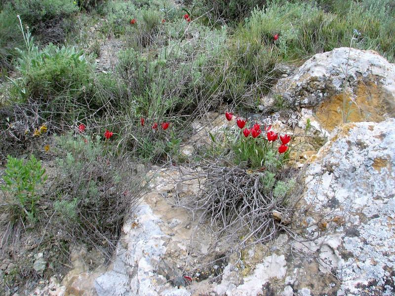 habitat of Tulipa montana