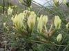 Astragalus cf. aleppicus