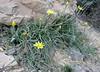 Scorzonerea cf. pseudolanata (Iran, Golestan, Golestan National Park  8)