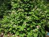 Rubus caucasicus