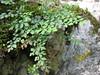 Asplenium ruta-muraria