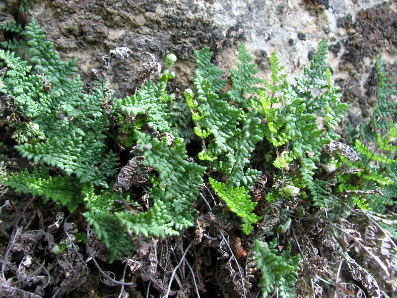 Cheilanthes persica