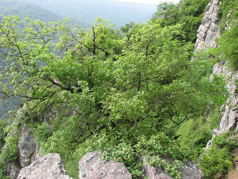 Acer monspessulanum ssp persica