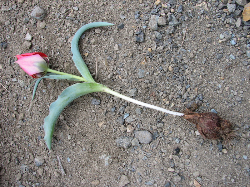 bulb of Tulipa micheliana