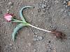 Tulipa micheliana (Iran, Golestan, Golestan National Park  8)