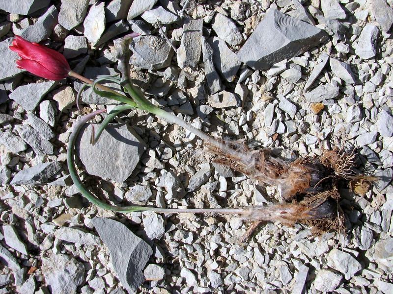 Tulipa montana