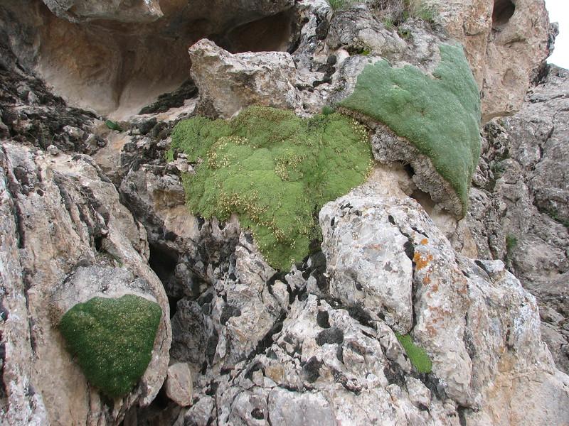 Gypsophila aretioides & Dionysia tapetodes & Gypsophila aretioides