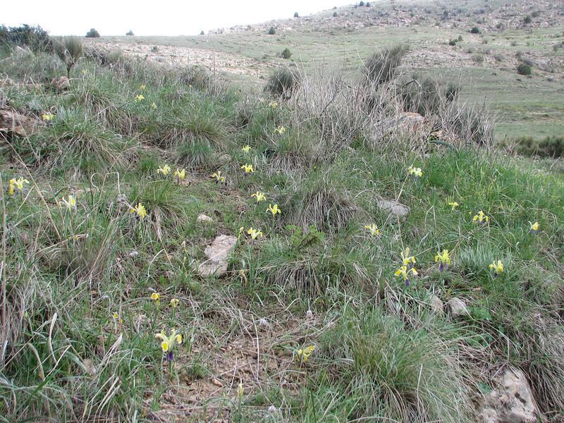 habitat of Iris fosteriana (Iran, Razawi Khorasan, Koppe Dag mountains, 2000m. Bajgiran  20)