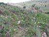 habitat of Iris fosteriana