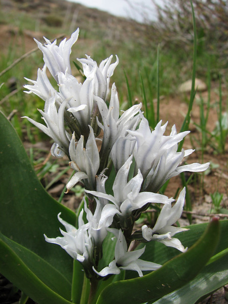 Hyacinthus lidwinowii