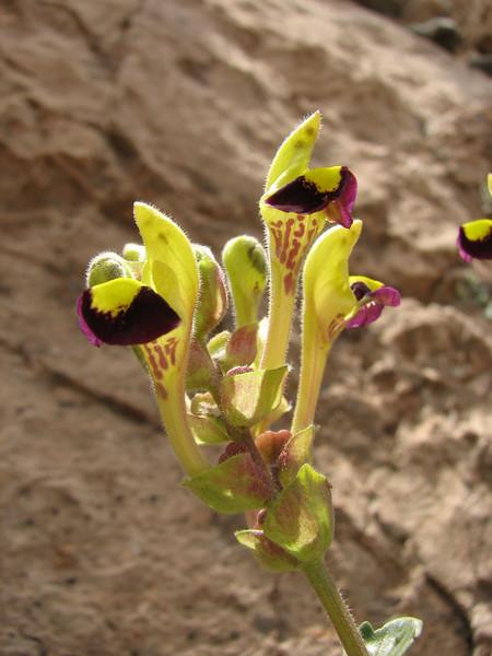 Scutellaria litwinowii