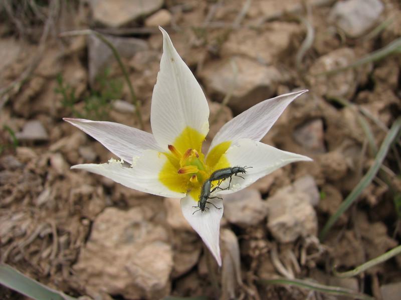 Tulipa turcomanica
