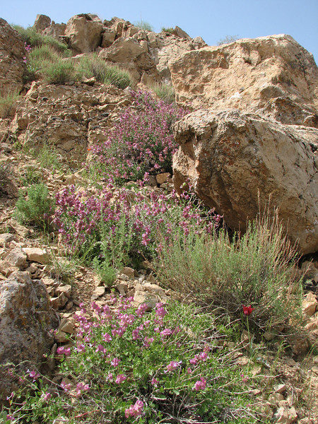 habitat of Salvia hydrangea