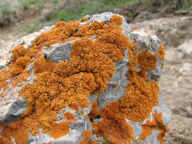 Xanthoria elegans (lichen) on limestone