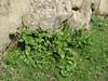 Arum rupicola var. virescens