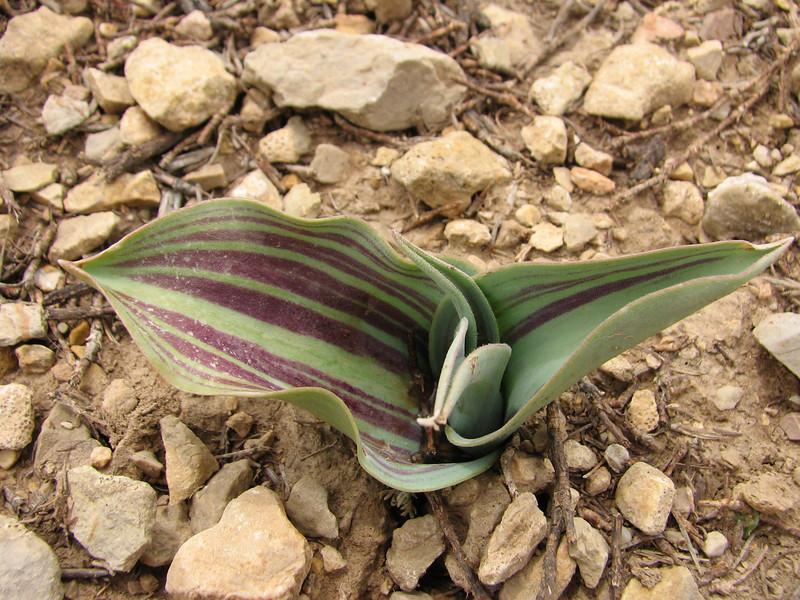 leaves of Tulipa micheliana
