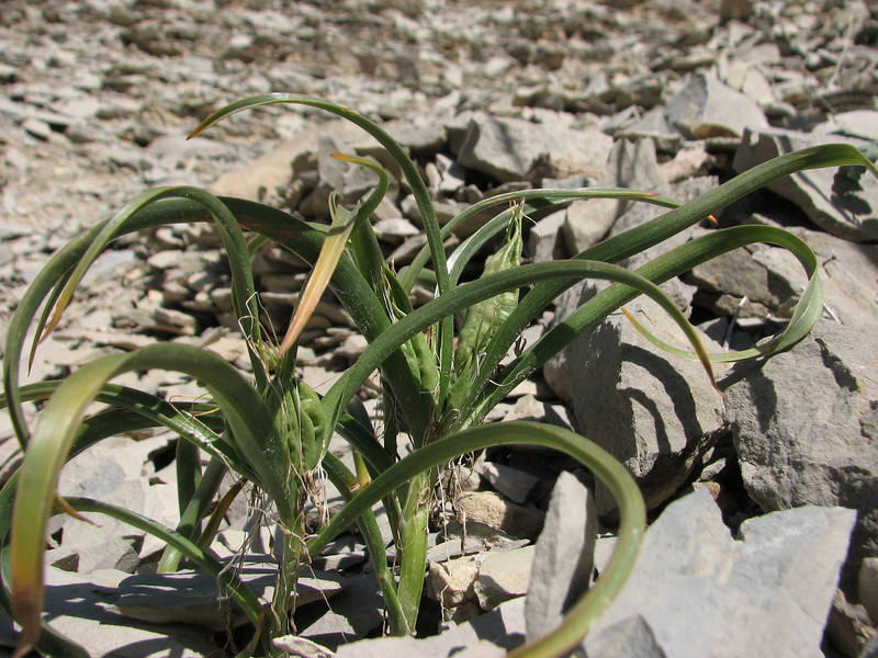 Colchicum robustum