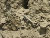 Paralaudakia caucasia, Lizard/Agame, ID by Khosrow Rajabizadeh, (Iran, North Khorasan, Koppe Dag, Jafar abad, near Turkmenistan border 12)