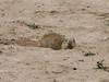 Spermophilus leptodactylus