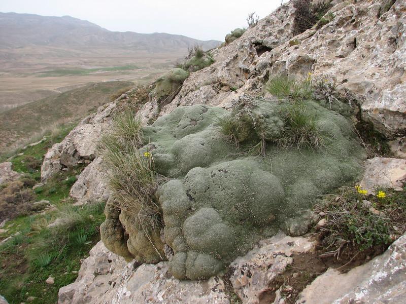 rockhabitat of Gypsophila aretioides