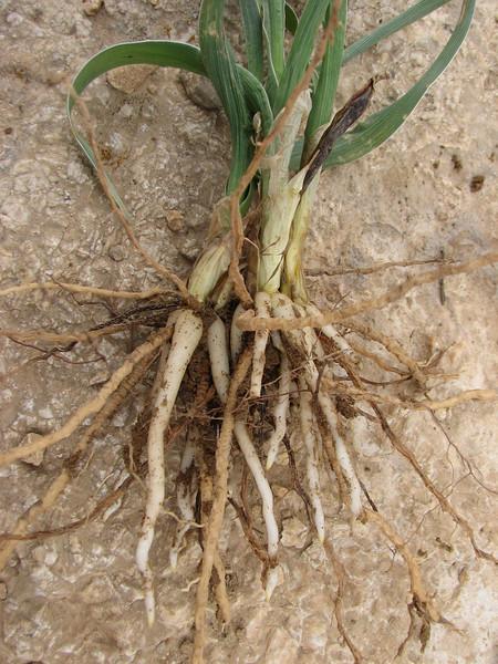 roots of Iris fosteriana