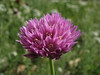 Allium spec.