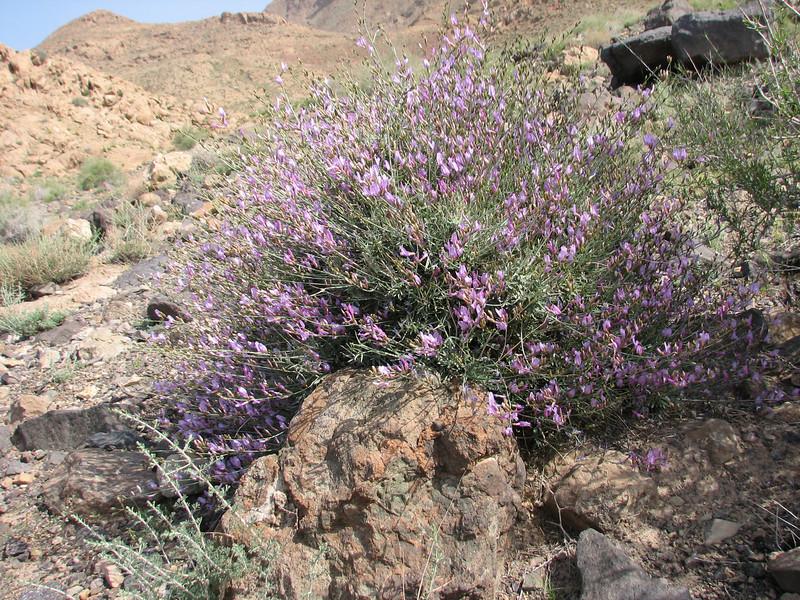 27 Astragalus spec