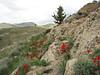 Tulipa montana? (7 km S of Bajgiran, 2000m, Razawi Khorasam Province, Kopet Dag)