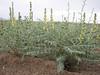Sophora alopecuroides ssp. tomentosa