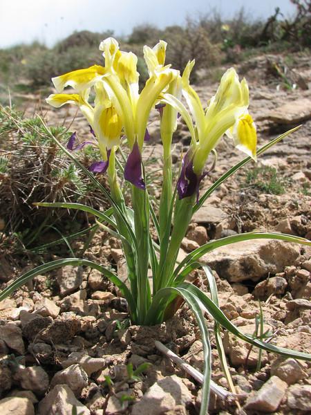 Iris fosteriana