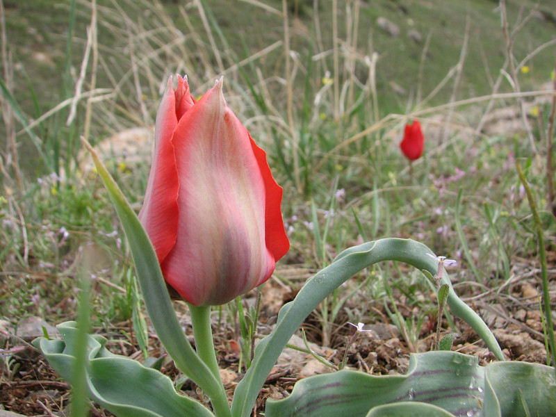 Tulipa micheliana