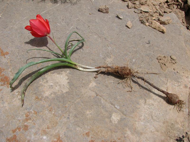 bulb of Tulipa montana
