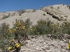 habitat of Rosa persica