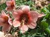 Fritillaria gibbosa