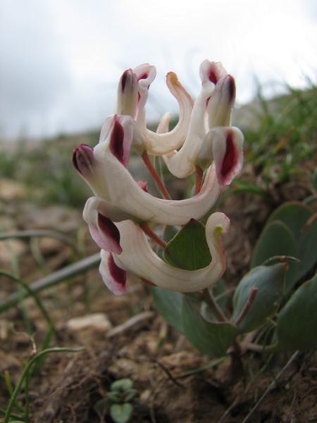 Corydalis chionophylla ssp. chionophylla